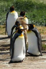 Young King Penguin