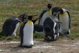 King Penguin mating
