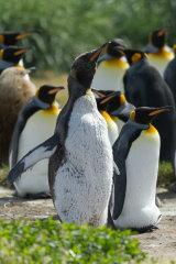 King Penguin stretching