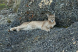 Puma in rocks