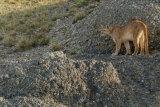 Puma on cliff