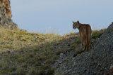Puma on horizon