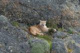 Puma on cliff, yawning
