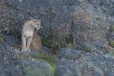 Puma sitting on cliff side