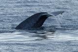 Minke Whale flute