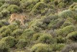 Puma on hillside