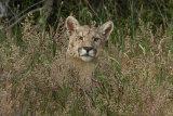 Puma in long grass