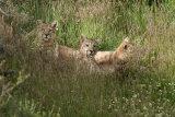 Three puma cubs