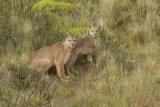 Puma brothers