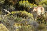 Puma in undergrowth