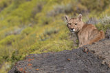 Puma looking over rock