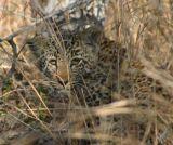 Leopard cub #1