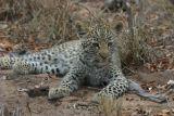 Leopard cub #2