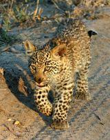 Leopard cub #3