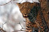 Leopard #6