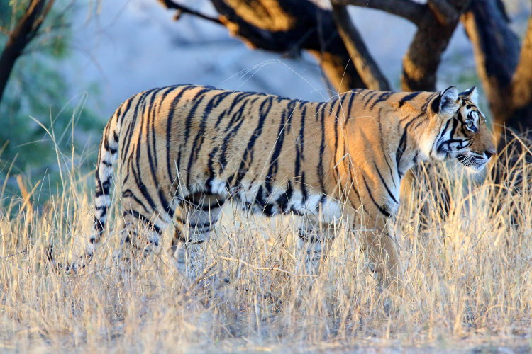tiger t19