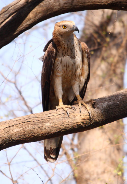imature crested serpent eagle