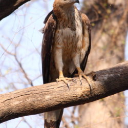 imature crested serpent eagle