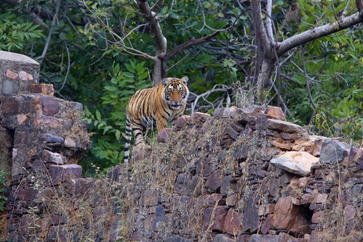 tiger cub on a wall