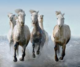 Camargue Horses on the run