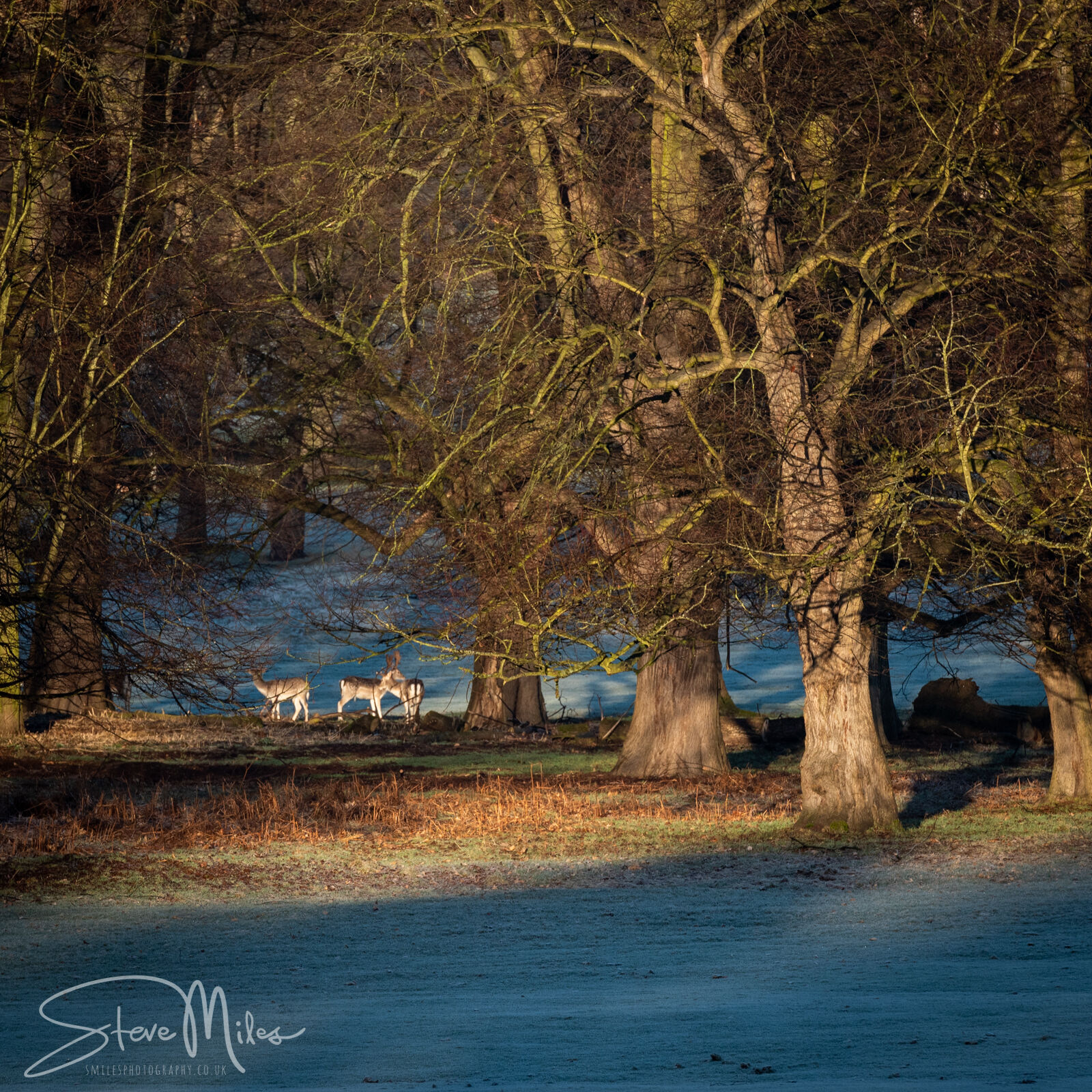 Morning Light on Deer