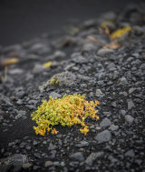 After the volcano erupts, the vibrant moss returns