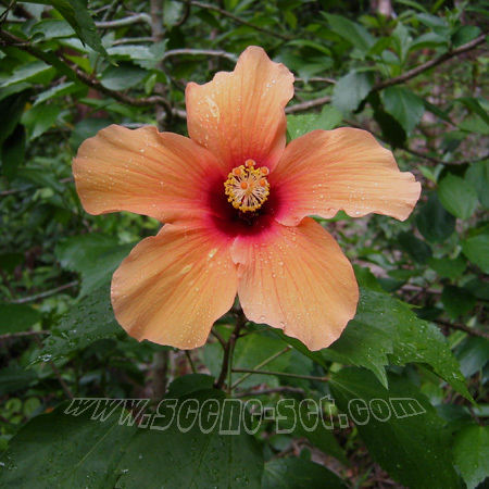 hibiscus spice garden <br> penang
