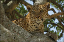 Leopard Well Spotted