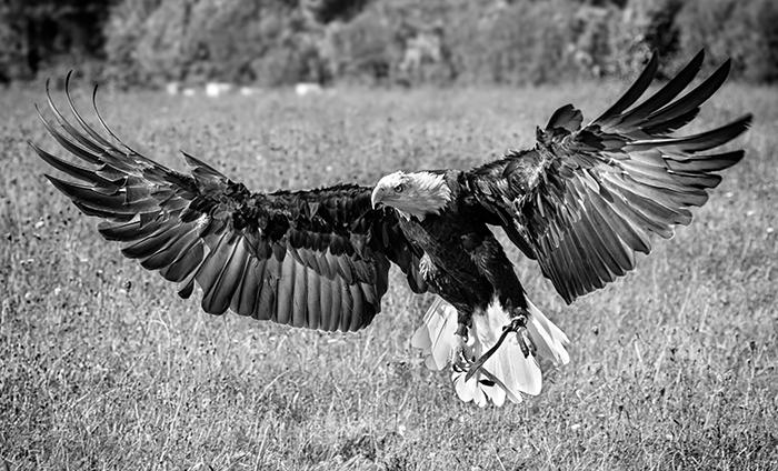 Bald Eagle Alights