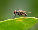 Bubble Blowing Flesh Fly