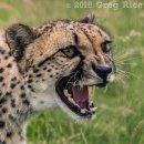 Cheetah's Snarl
