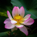 Cultivated Lotus Flower