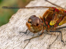 Common Darter Detail