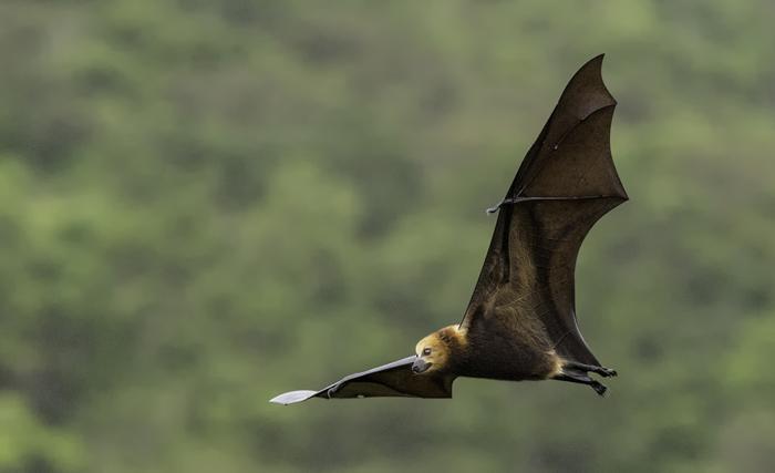 Mauritius Fruit Bat (Flying Fox)