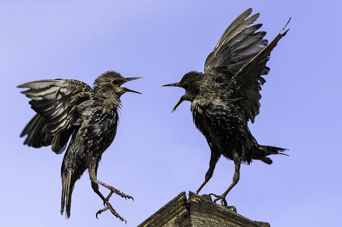 Quarrelling Starlings