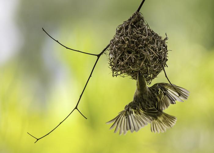 Village Weaver Entering Nest