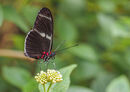Heliconius Doris - Butterfly