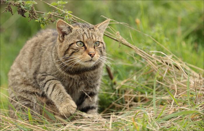 British Wildcat on the Prowl