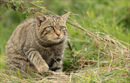 British Wildcat on the Prowl