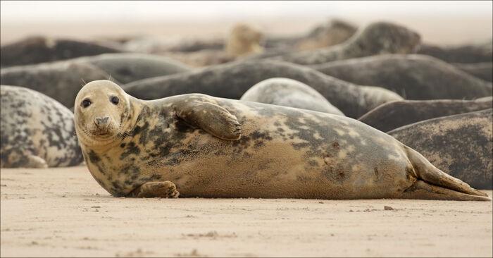 Seals on the Beach - East Coast UK