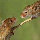 The Meeting - Harvest Mice