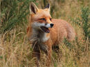 Early Autumn Fox