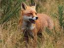 Early Autumn Fox