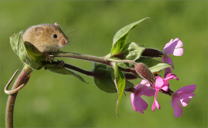 Harvest Mouse in the Spring