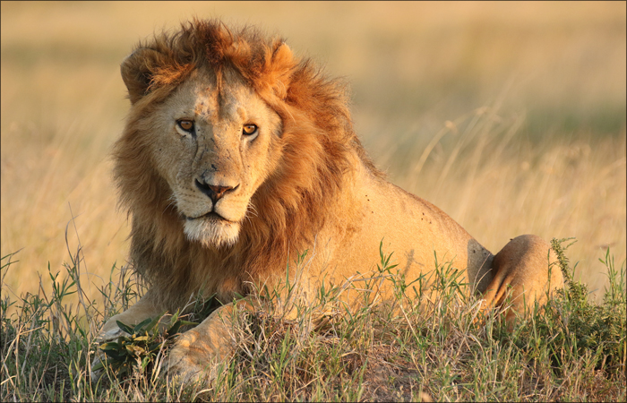Lion in the Morning Sun