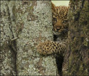 Can I Get Through Here? - Leopard Cub - Kenya