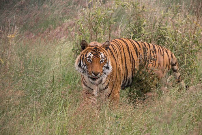 Malayan Tiger Coming Out of the Grass