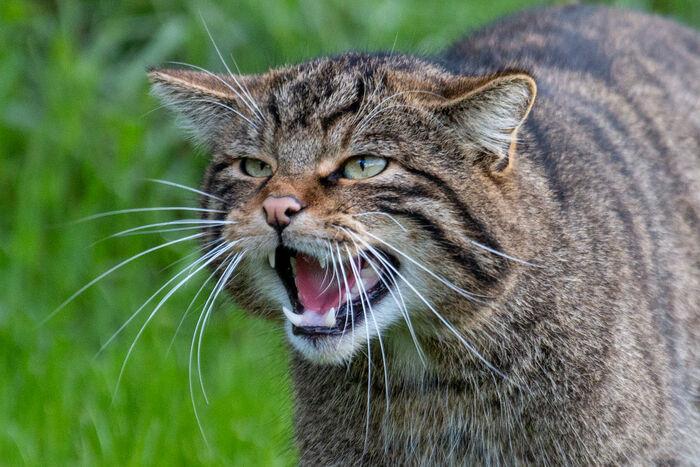 British Wildcat