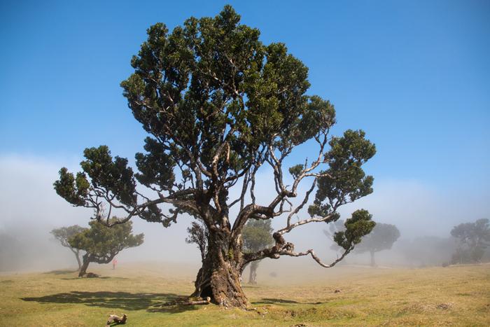 Laurel Trees in Cloud