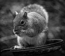 Nut Thief